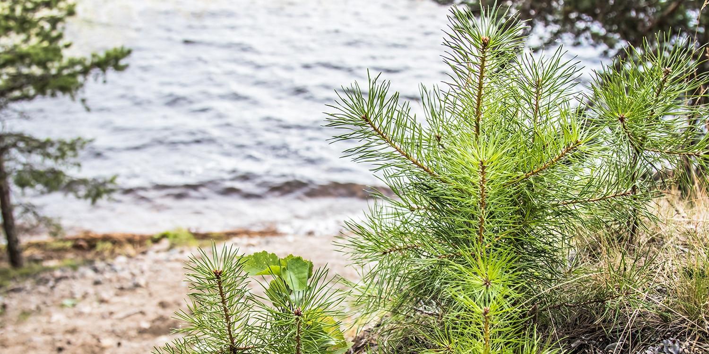 Сямозеро почти полностью окружено сосновыми лесами