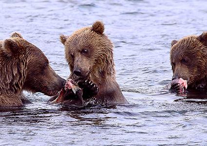 Медведи на Курильском озере