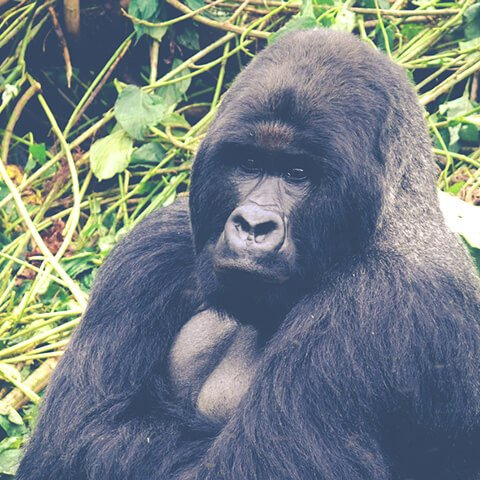 Путешествие в Конго и Уганду