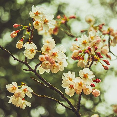 Весна в Японии и Южной Корее